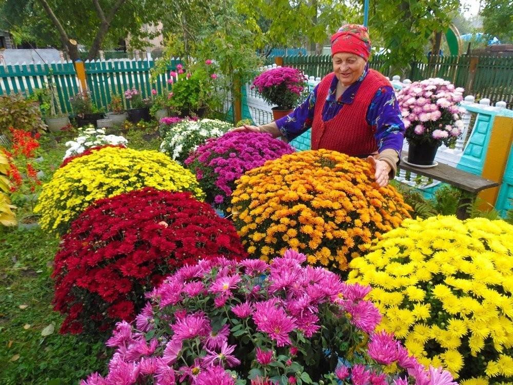 Садовая Хризантема мультифлора: как ухаживать за цветком