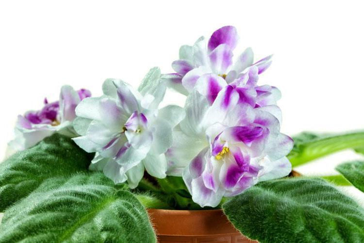 Растение Сенполия: уход в домашних условиях