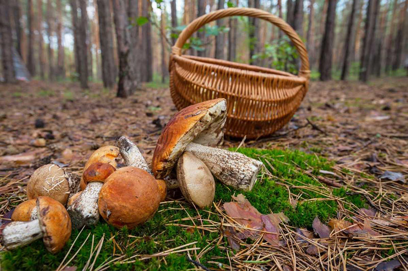 Польза и вред грибов для здоровья