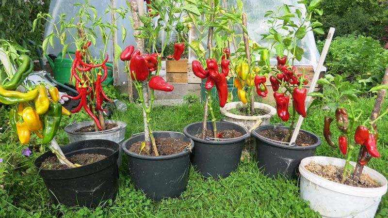 Как вырастить овощи в ведре