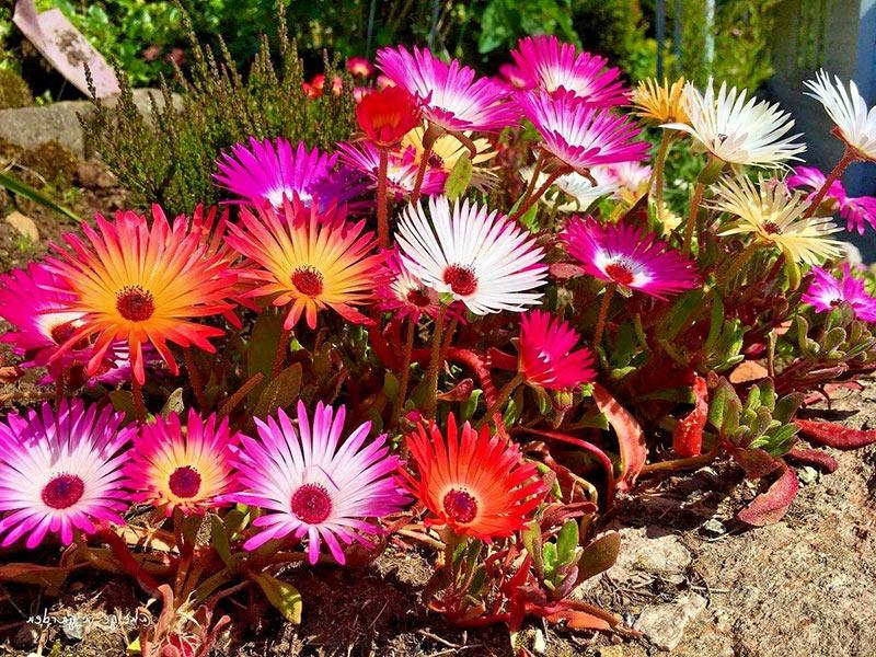 Доротеантус - посадка и выращиваение