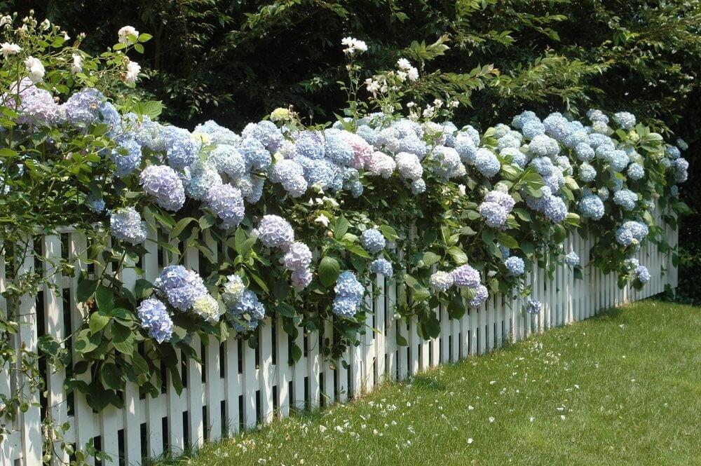 Скройте некрасивый забор живой изгородью
