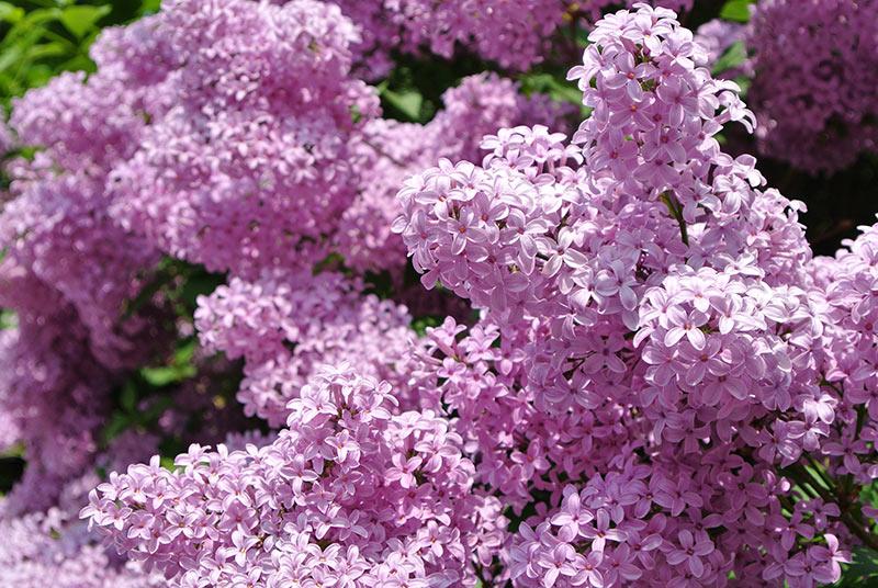 Lilac'