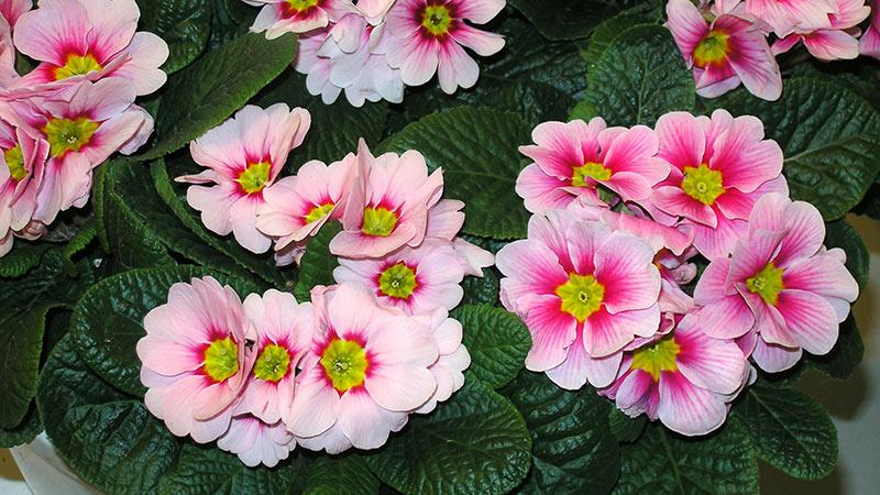 Первоцвет розовый