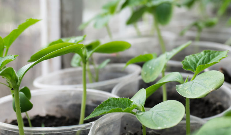 Как правильно посадить огурцы. Особенности ухода и выращивания