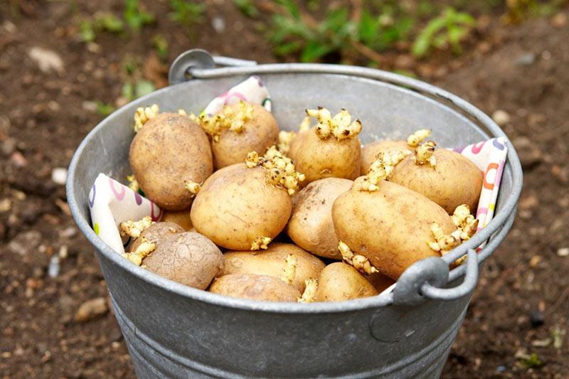 Когда сажать картофель по лунному календарю в 2019 году