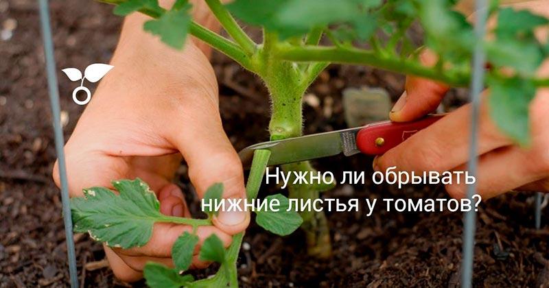 нижние листья у томатов