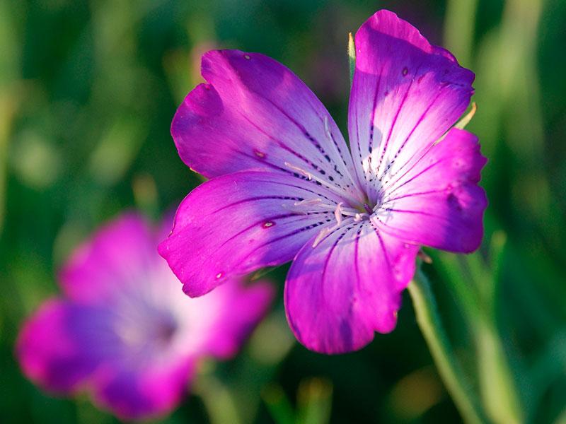 Агростемма (куколь): выращивание и размножение