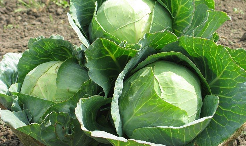 Как вырастить белокочанную капусту крупной