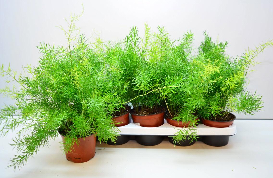 Как вырастить аспарагус из семян