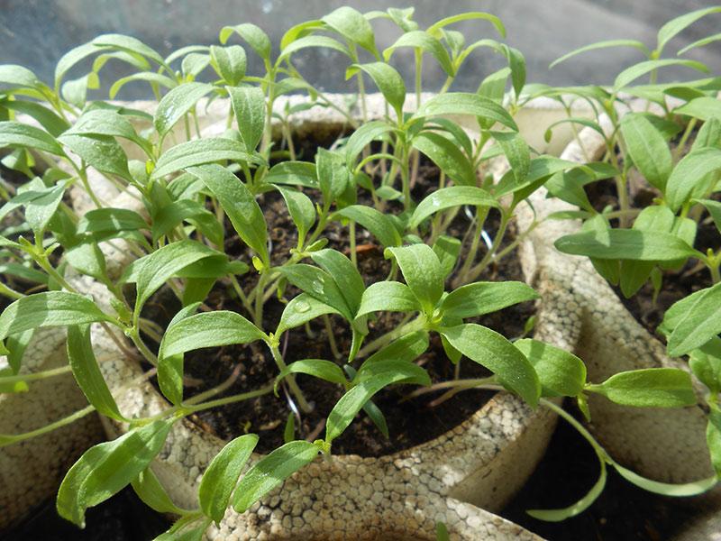 Как улучшить приживаемость рассады и получить высокий урожай томатов