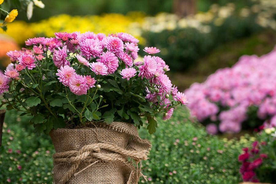 Секреты вывода цветника из теплой зимы