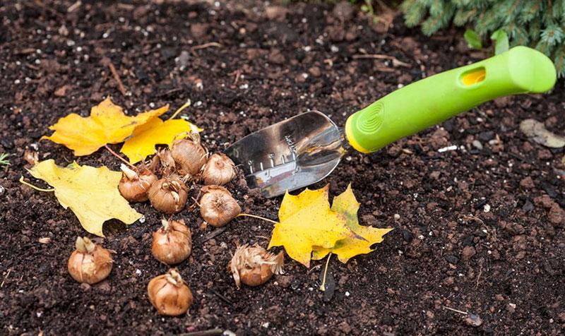 Самая поздняя посадка луковичных растений