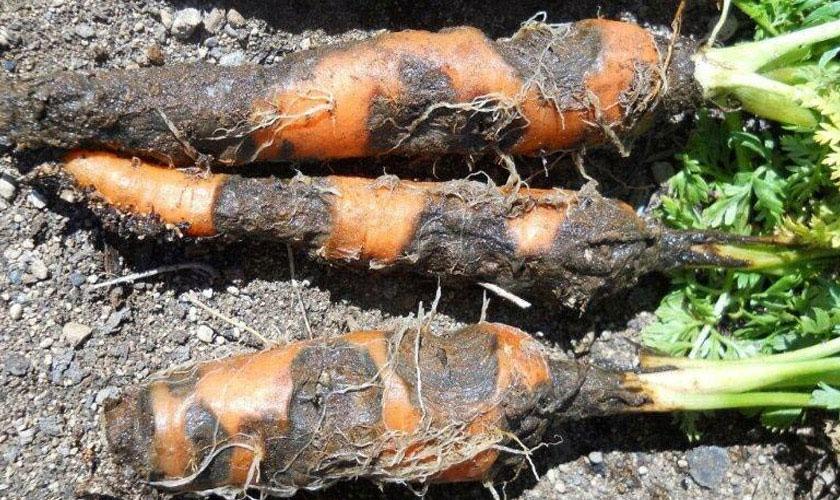 морковь пораженная гнилью