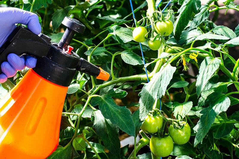 Чем опрыскать томаты от фитофторы