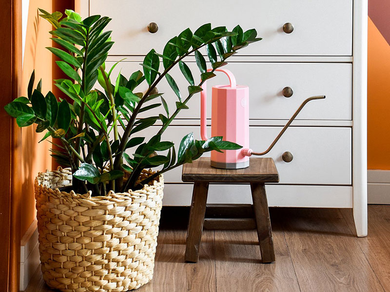 Как вырастить замиокулькас в домашних условиях