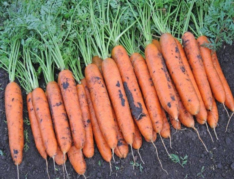 морковь Голландка