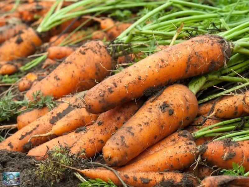 морковь Сладкоежка