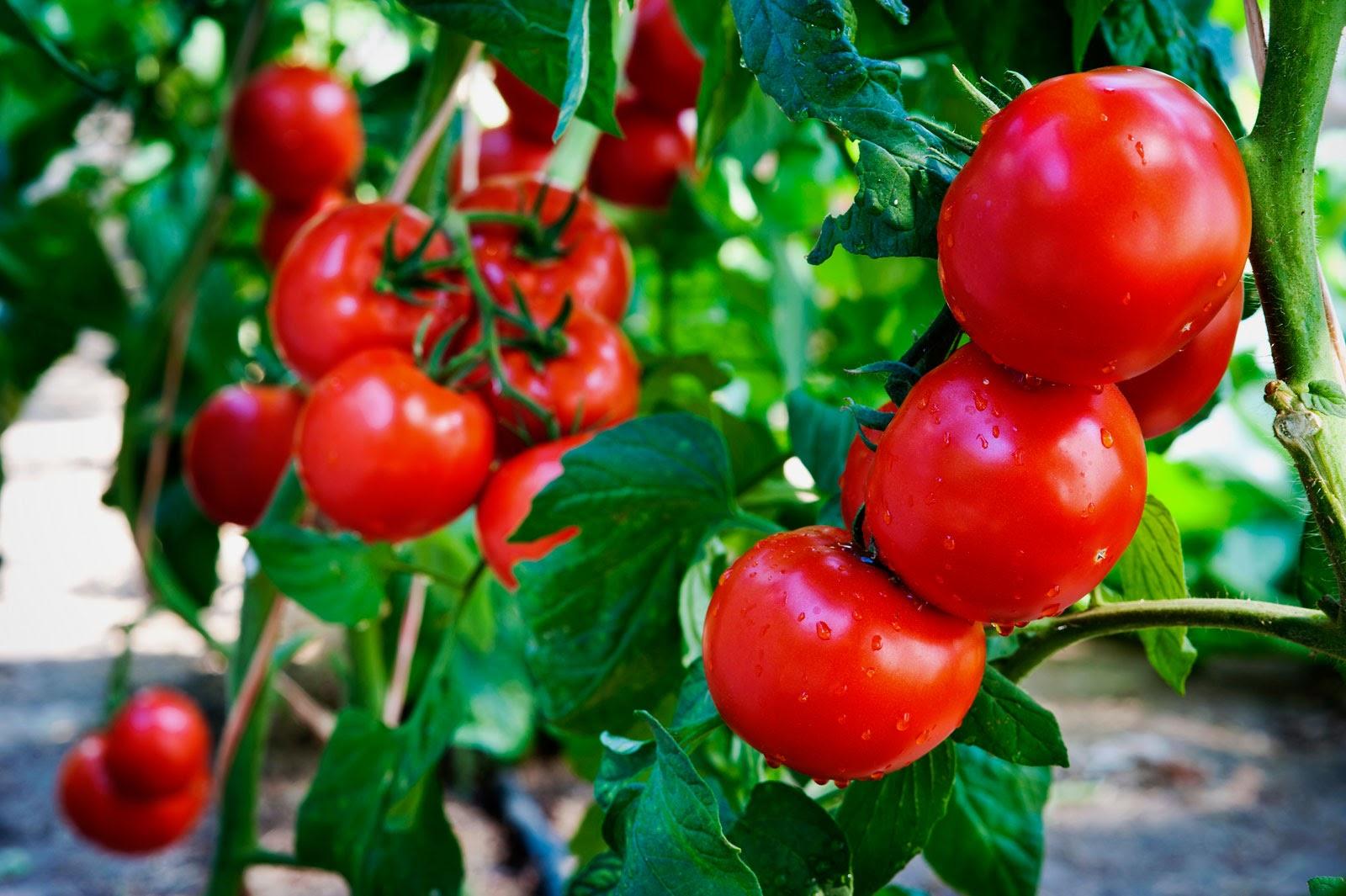 Семена томатов: особенности выбора