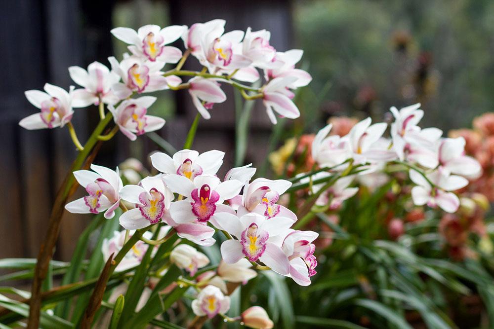 Орхидея цимбидиум - посадка и уход