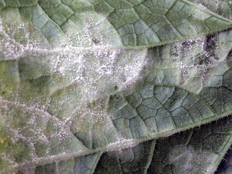 Ложная мучнистая роса на листьях огурцов