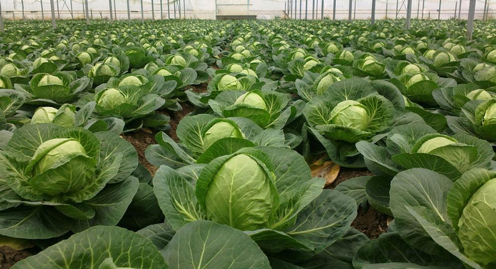 Выращиваем идеальную капусту