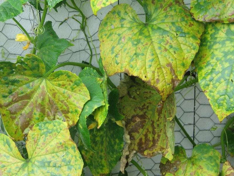 Почему сохнут листья у огурцов - причины и решение