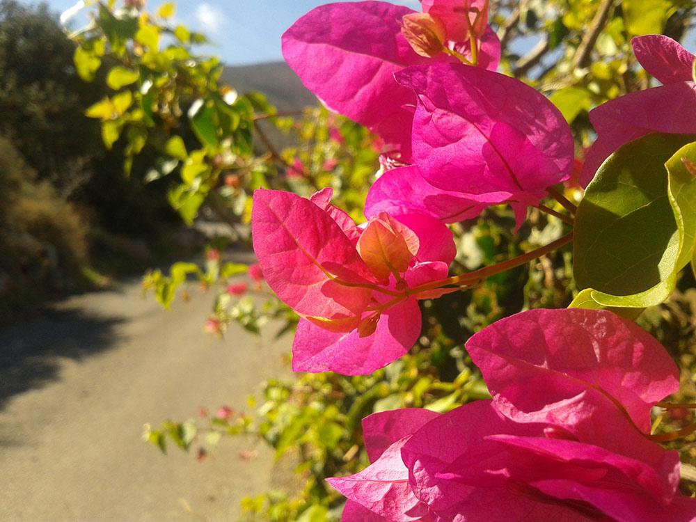 Бугенвиллия - южноамериканская красавица в вашем саду