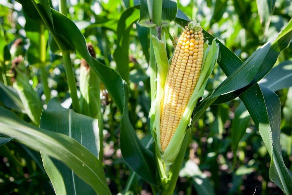 Почему нет початков на кукурузе