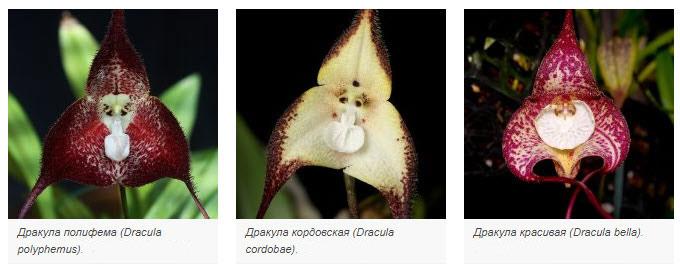 виды орхидей дракула