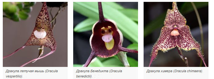 Виды орхидеи Дракула