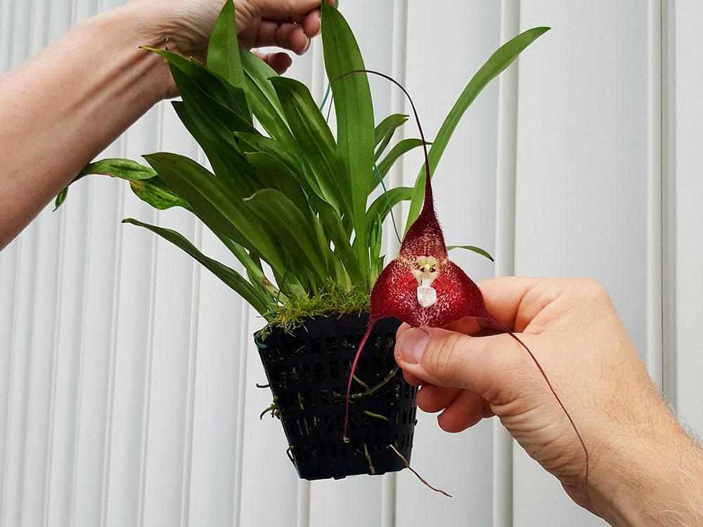Орхидея дракула цветет револьверно