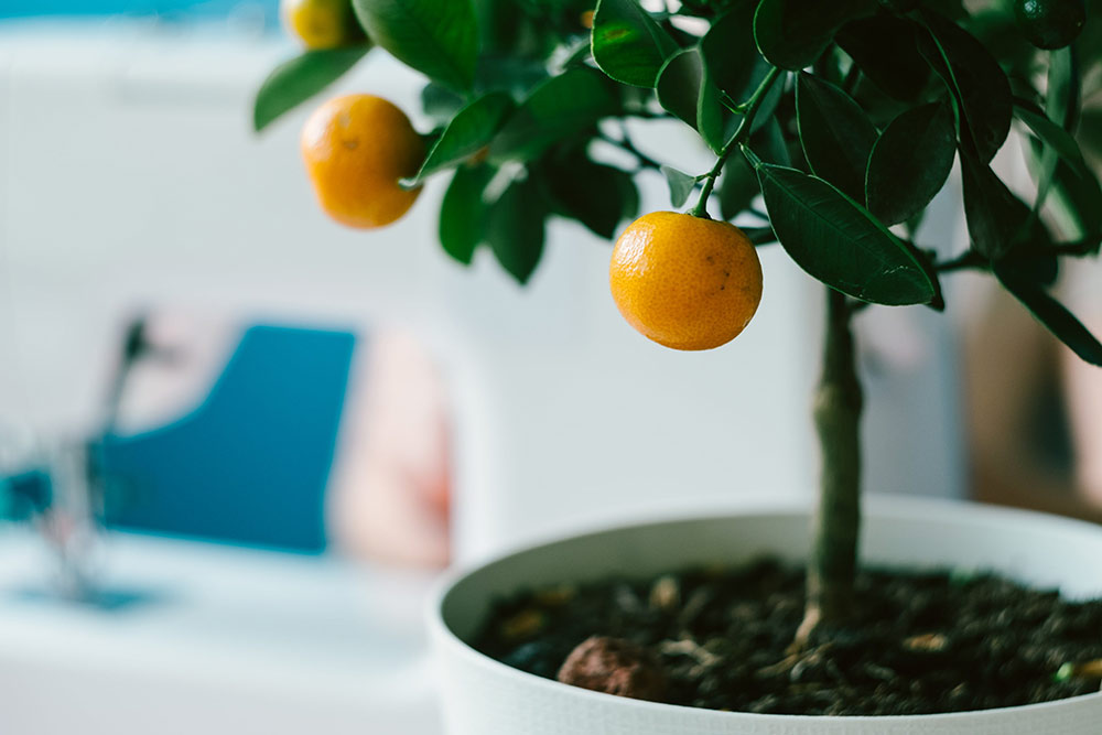 Как вырастить кумкват в квартире