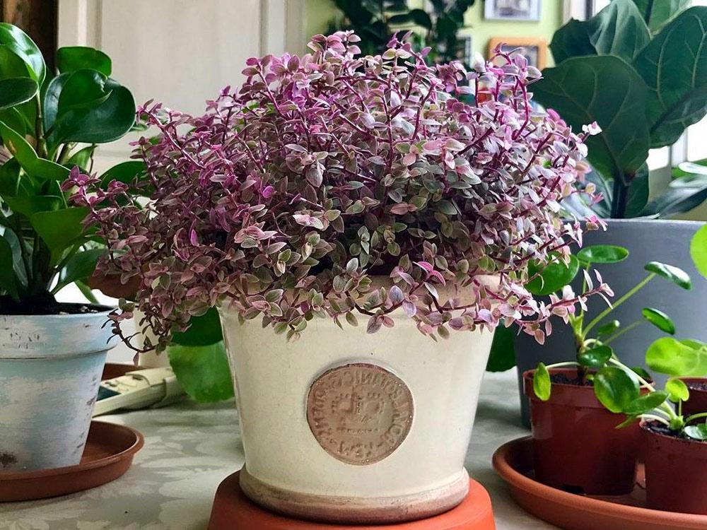 Каллизия — почвопокровный комнатный суккулент