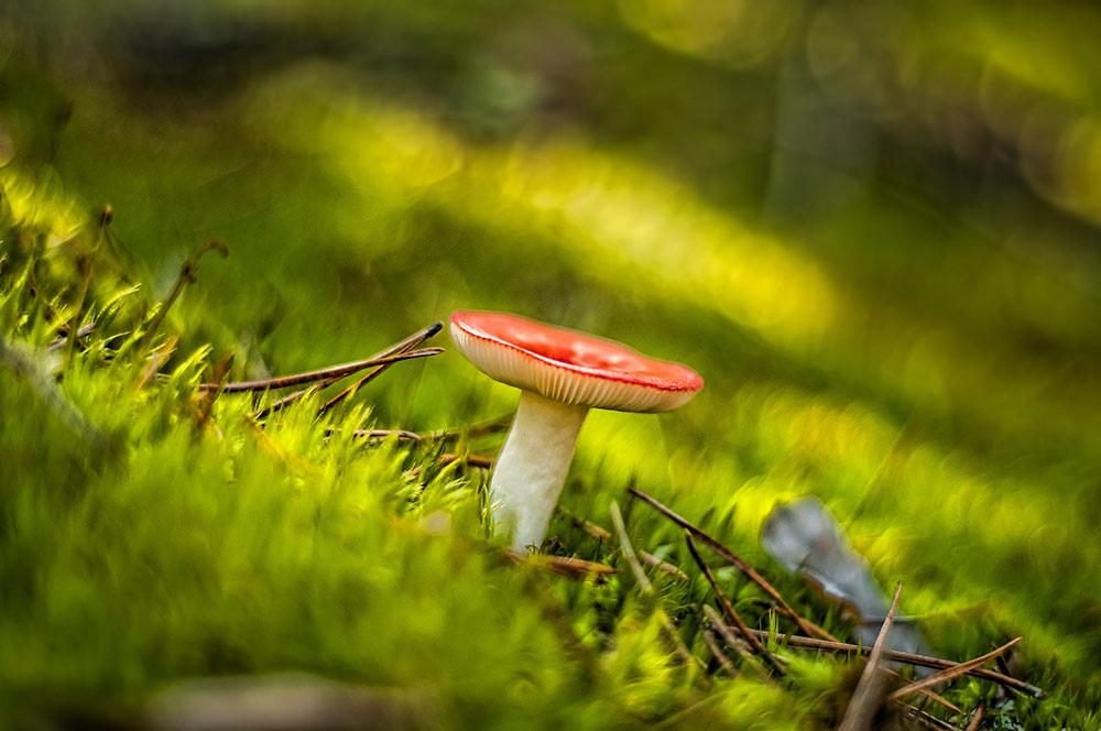 Сыроежки - виды грибов, описание, рецепты из сыроежек. ФОТО